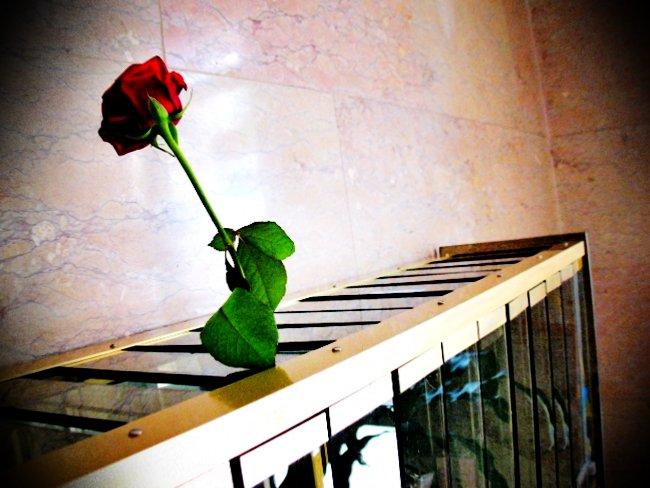 una rosa di santa rita